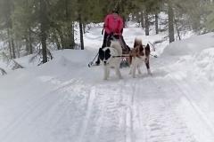 Inkörning-av-grönlandshundsvalpar-7-mån-i-skogarna-kring-Årrenjarka-1